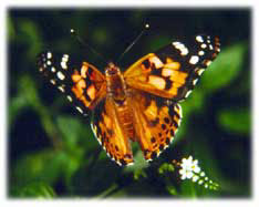 Painted Lady butterfly release